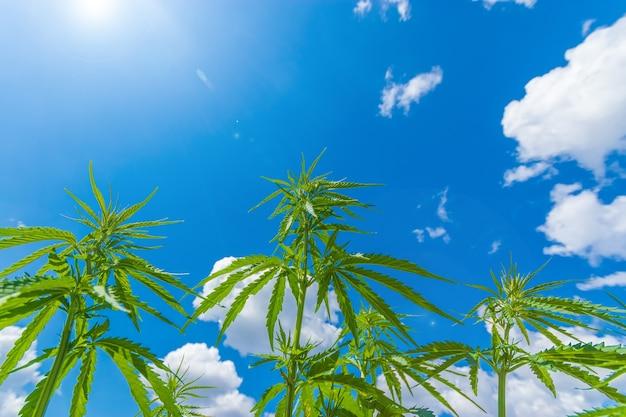 Cannabis se estende até o céu / cannabis crescendo ao ar livre