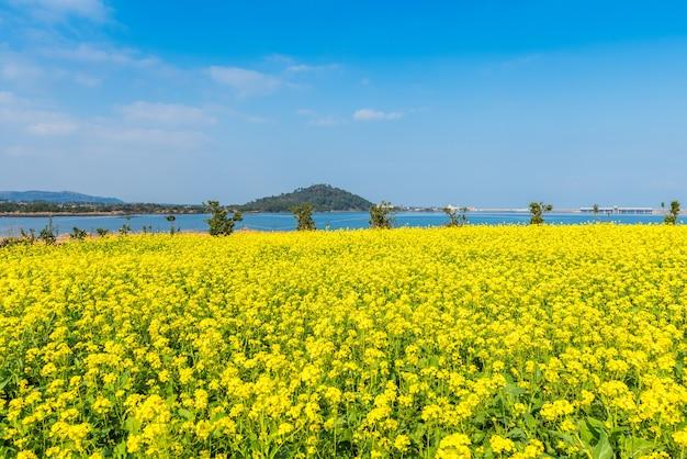 Canola campo em seongsan ilchulbong, ilha de jeju, coreia do sul