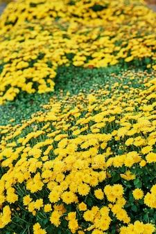 Canteiro de crisântemos amarelos
