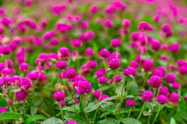 Canteiro de flores brilhantes e suculentas de flores roxas gomphren