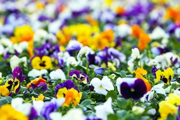 Canteiro de flores com amores-perfeitos de flores