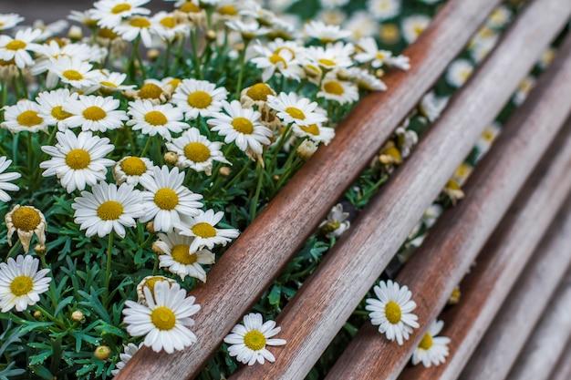Canteiro de flores com camomila