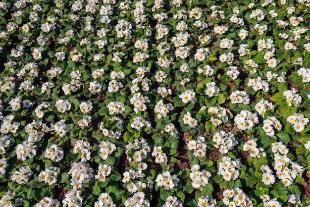 Canteiro de flores com flores de prímula