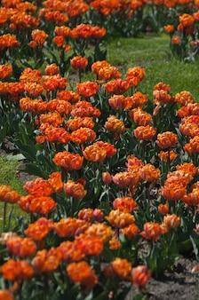 Canteiro de flores de lindas tulipas coloridas