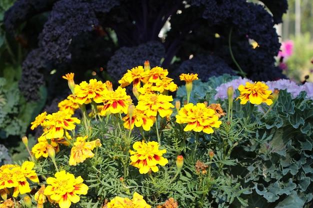 Canteiro de flores laranja e amarelo de calêndula lat tagetes no jardim botânico de outono