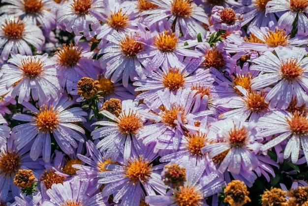 Canteiro de flores magenta áster sob luz solar