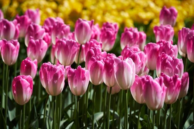 Canteiro de flores tulipas no jardim keukenhof, holanda