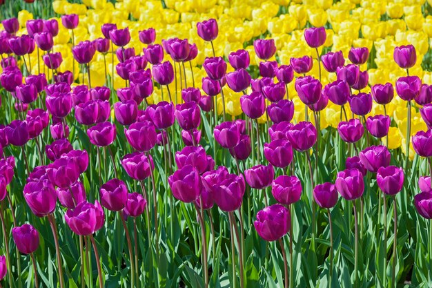 Canteiro de tulipas com tulipas desabrochando em diferentes formas e cores as primeiras tulipas da primavera