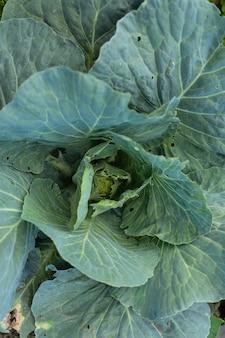 Canteiros com folhas verdes de couve de perto, legumes frescos da horta