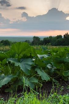 Canteiros com vegetais, folhas verdes de abóbora de perto, abóbora amadurecendo, nascer do sol na aldeia