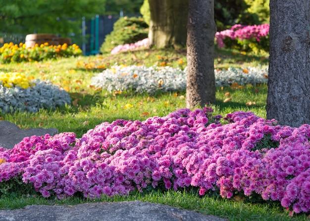 Canteiros de flores com crisântemos coloridos. parque em kiev, ucrânia.