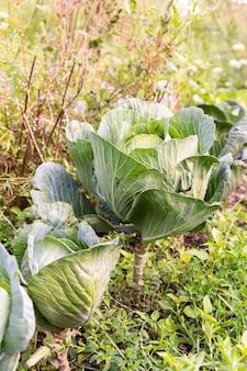 Canteiros de jardim com repolho verde jovem