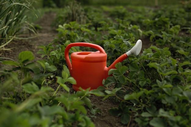 Canteiros de morango no jardim. entre eles está um regador de plástico vermelho.