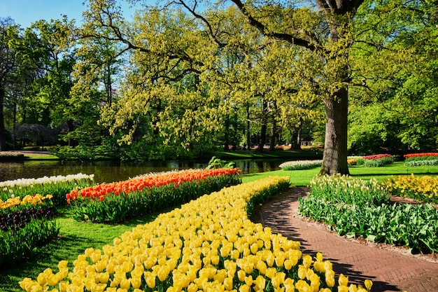 Canteiros de tulipas florescendo no jardim keukenhof, netherlan