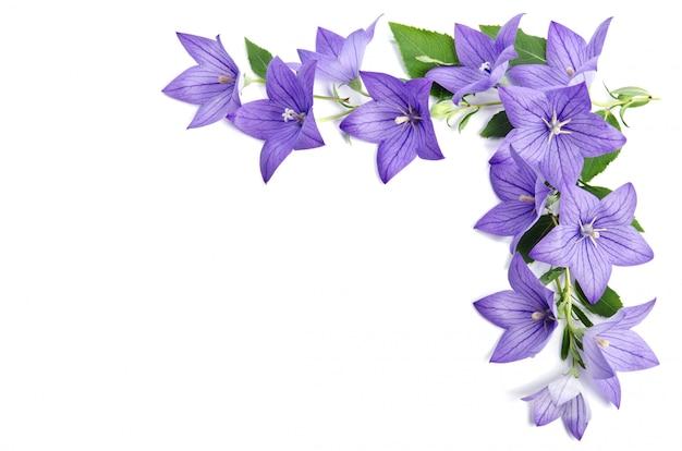 Canto da foto feito de bellflowers isolado sobre o branco