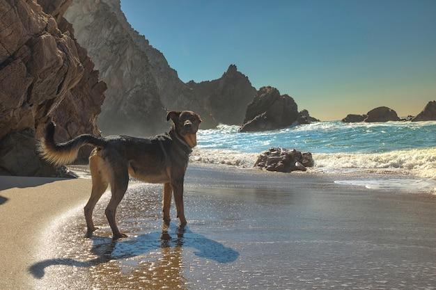 Cão a brincar com as ondas na costa do oceano atlântico, praia da adraga, perto de sintra, em portugal