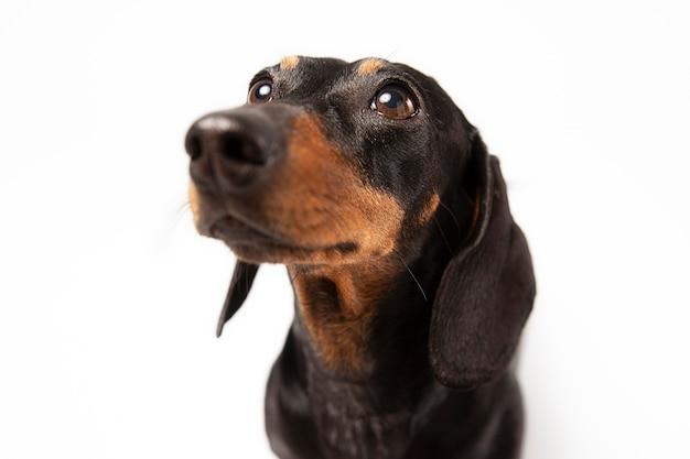 Cão adorável olhando para cima em um estúdio