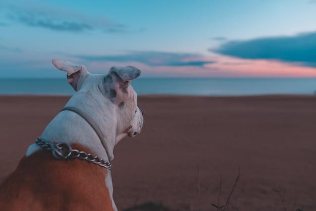 Cão adorável senta e assiste o belo pôr do sol dourado perto do oceano