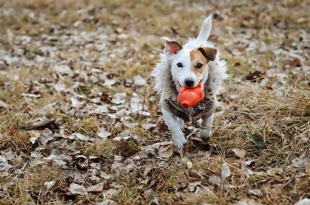 Cão alegre jack russell terrier com roupa e passeando, corre com um brinquedo nos dentes