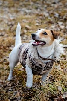 Cão alegre jack russell terrier para passear no parque com roupas
