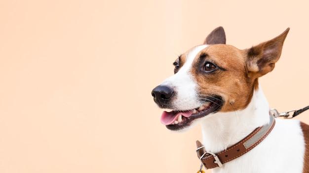 Cão amigável com a língua fora do espaço da cópia