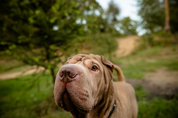 Cão andando no parque. cão de raça pura shar pei
