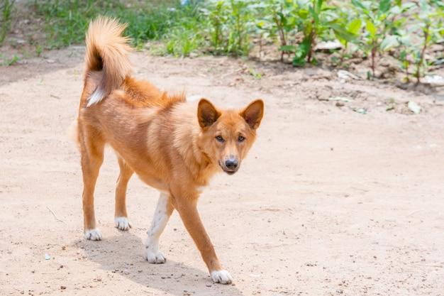 Cão andar e olhar