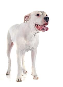 Cão argentino