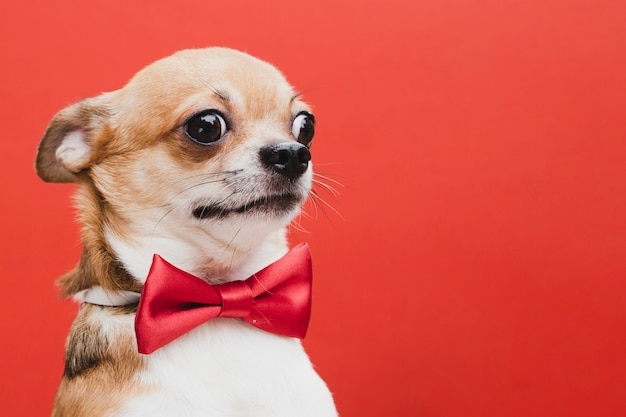 Cão assustado com laço vermelho cópia-espaço