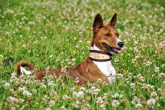 Cão basenji na coleira. retrato