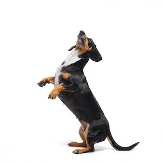 Cão bassê adorável fica em suas patas traseiras em uma superfície branca