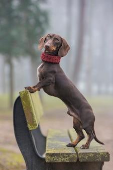 Cão bassê, olhando para a câmera em pé em um banco do parque com névoa no fundo.