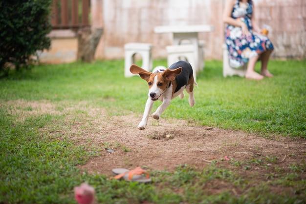 Cão beagle bonito correndo na casa