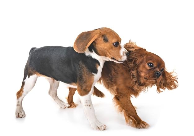 Cão beagle e rei cavaleiro charles isolado no branco