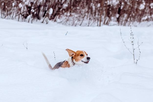 Cão beagle em um passeio na floresta de inverno, um cão de caça corre por um parque nevado no tempo frio,