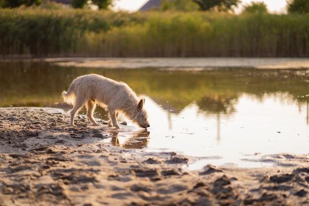 Cão bebe água de um lago ao pôr do sol