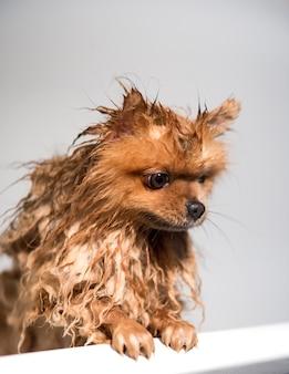 Cão bem preparado. preparação. aliciamento de um cão pomeranian. cachorro tomando banho.