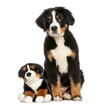 Cão bernese jovem, sentado com ursinho de pelúcia