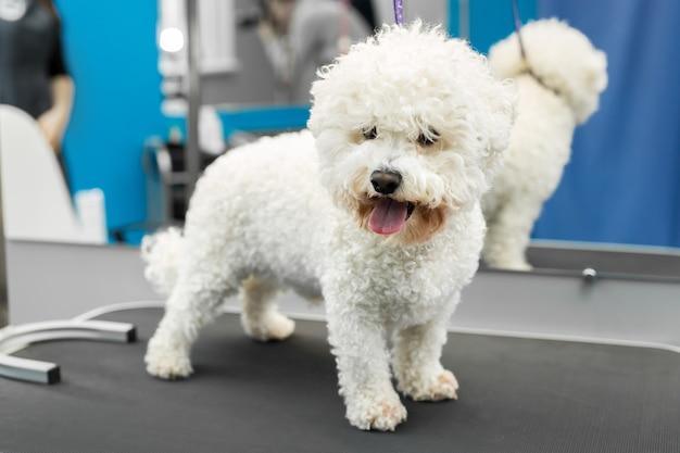 Cão bichon frise fica em uma mesa em uma clínica veterinária