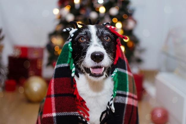Cão boder collie coberto com um cobertor quente sob as luzes da árvore de natal.