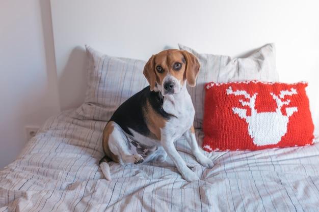 Cão bonito bonito beagle sentado na cama. fundo branco. casa, dentro de casa. animais de estimação