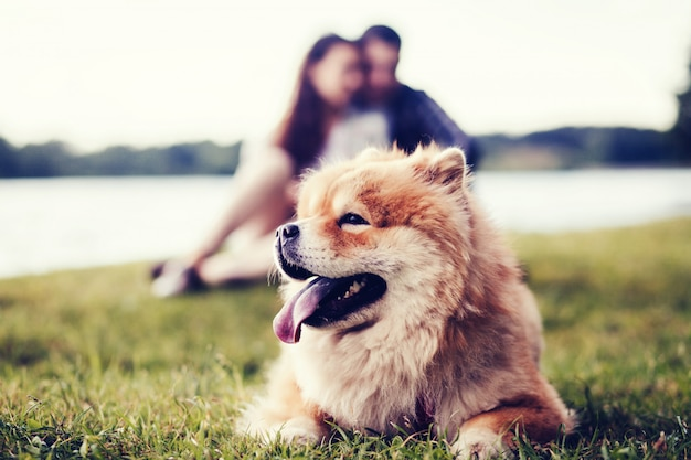 Cão bonito chow chow