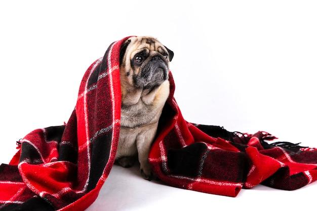 Cão bonito coberto com manta vermelha e preta