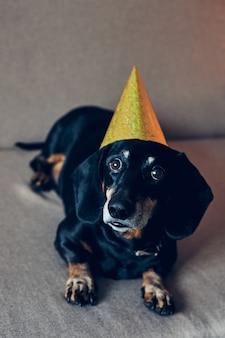 Cão bonito com chapéu de festa. feliz aniversário. retrato de bassê marrom preto comemorando um ano novo.
