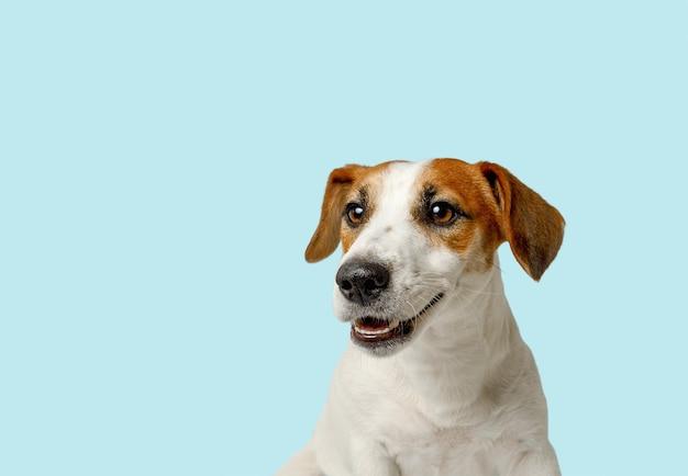 Cão bonito com dentes brancos a sorrir. conceito de saúde animal.