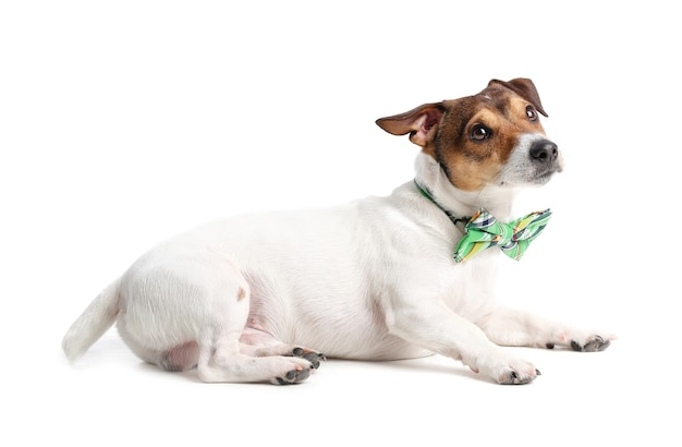 Cão bonito com gravata borboleta verde no espaço em branco. comemoração do dia de são patrício