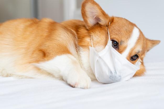 Cão bonito corgi posando em máscara médica.