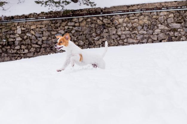 Cão bonito correndo na neve na montanha. inverno