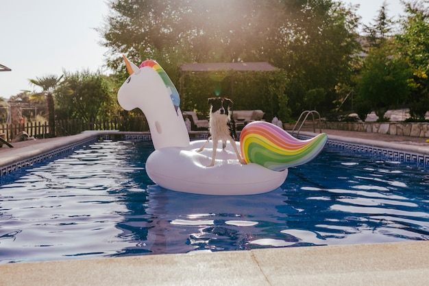 Cão bonito de border collie em pé em um unicórnio de brinquedo inflável na piscina