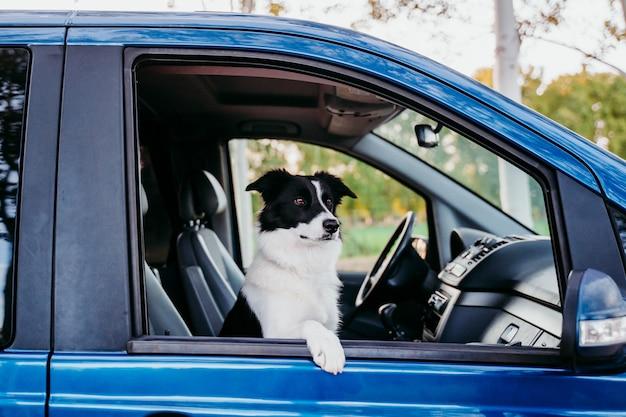 Cão bonito de border collie que olha pela janela uma van. conceito de viagens
